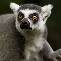 Freelancer Lemur I.